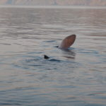 Big basking shark