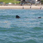 Small basking shark near the beach